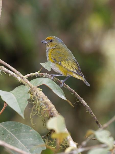 Euphonia Ecuador