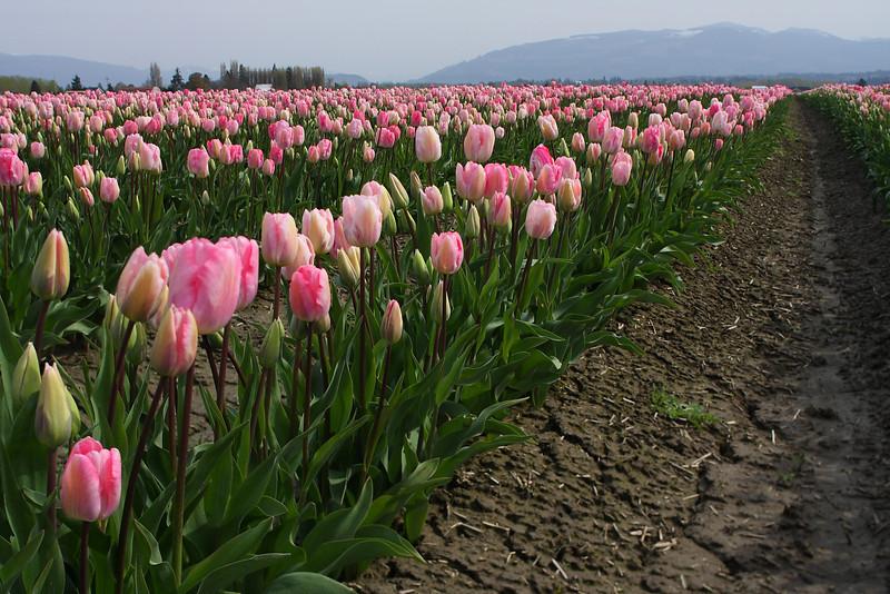 Tulips-2010 20.JPG