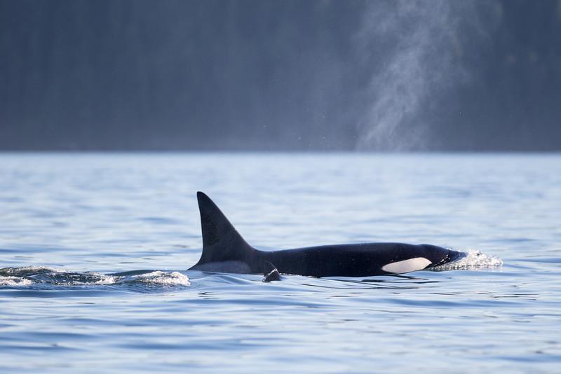Orcas -  073115-451.jpg
