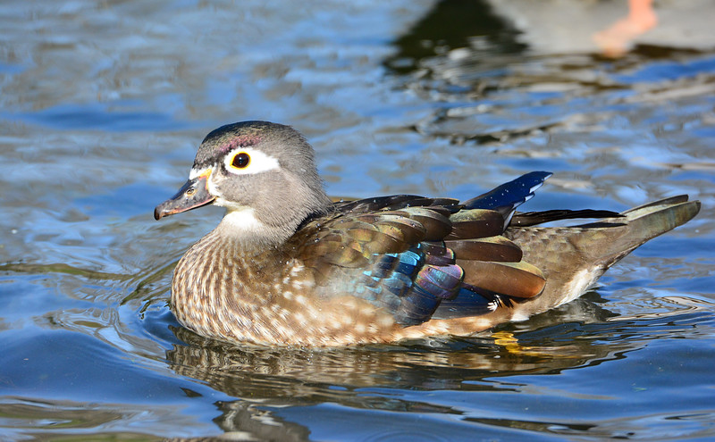 Female Wood Duck - 12/7/2014 - Pond at Dos Picos Park