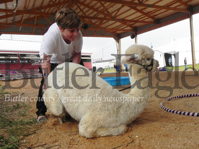 Slippery Rock Middle School seventh-grader Virginia Carmichael, 12, a 4-H member, tries to get her alpaca Sangria back on its feet in the 4-H Alpaca Showmanship and Obstacle Course at the Butler Farm Show. Photo by Gabriella Canales.