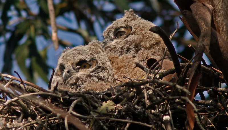 Great Horned Owl Chicks, attention to nearby crow