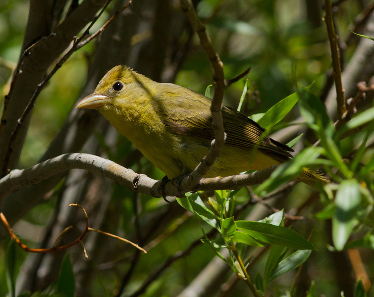 Summer Tanager  Mammoth Lakes  2012 05 23 (2 of 5).CR2