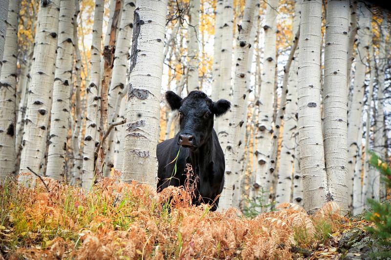cowcr.jpg