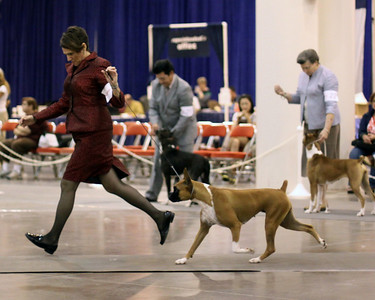 2010 Houston Dog Show -=-  Boxers Thursday