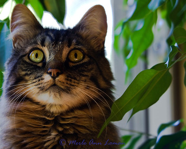 Vesper, Maine Coon cat 2012