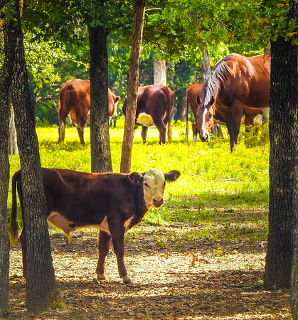 Cow & Longhorn