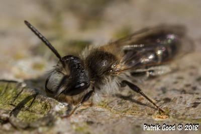Furchenbiene (Lasioglossum albocinctum)