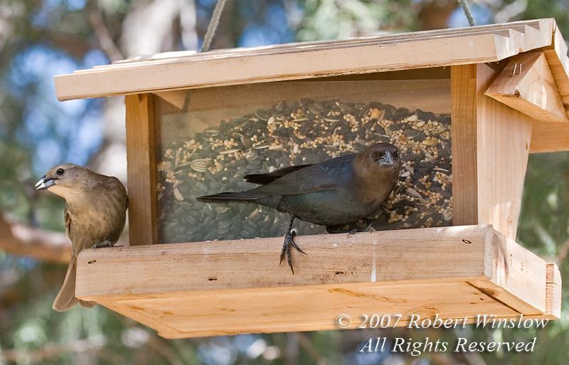 Female and Male, Brown-headed Cowbird, Molothrus ater, La Plata County, Colorado, USA, North America
