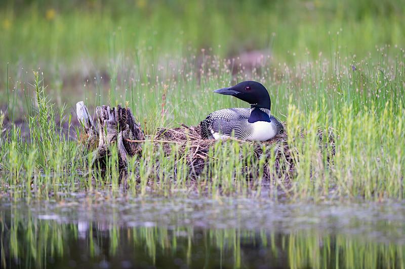 #1265 Common Loon on Nest