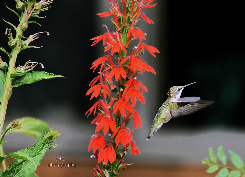 Humming bird flower.jpg