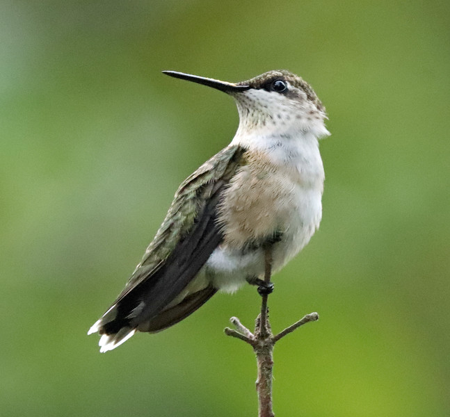 Female hummingbird 1