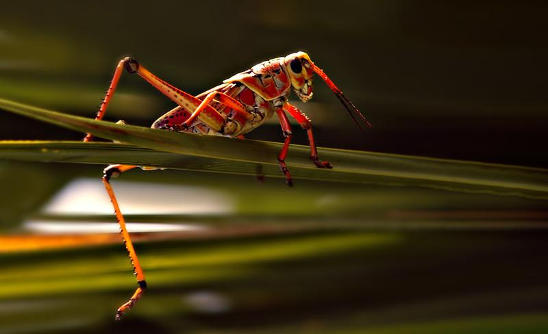 Grasshoppers 88.jpg