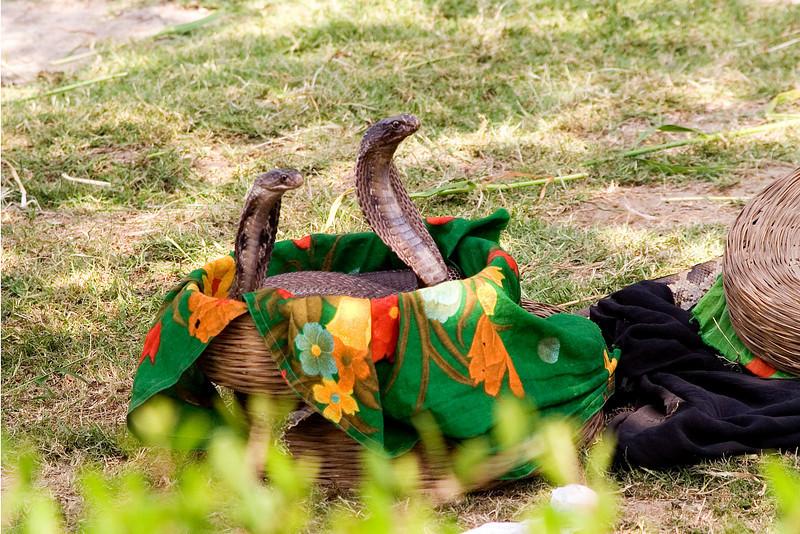 Cobras 1.jpg