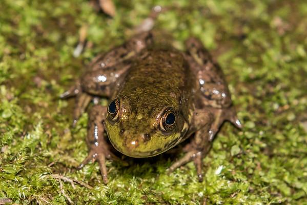 Rana clamitans - Green frog