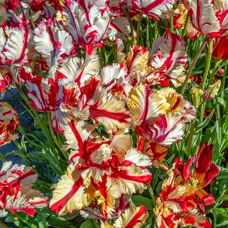 2019-04-29 Tulips
