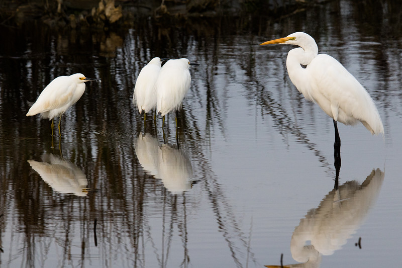 Egrets NC 2019-6.jpg