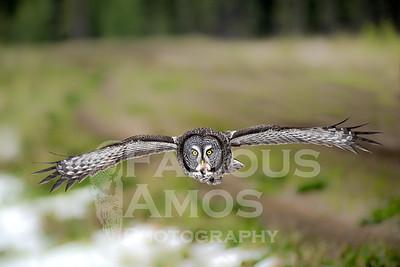 Owl-Great Grey Owl