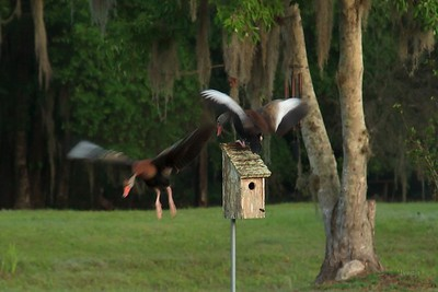 Whistling Ducks Playing King Of The Hill