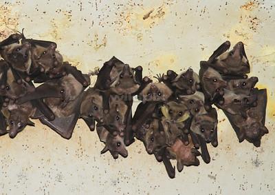 Cave Nectar Bat