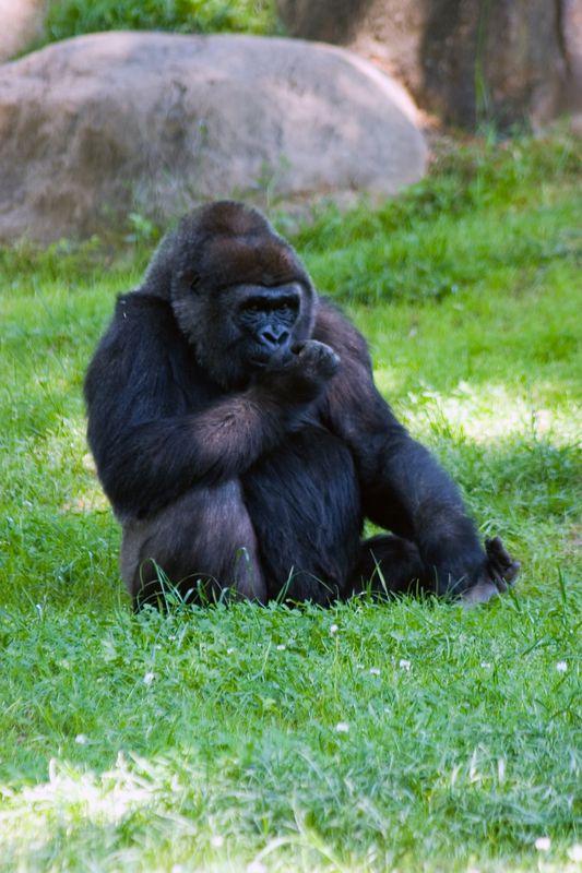 Western Lowland Gorilla, Zoo, Atlanta, Georgia, USA