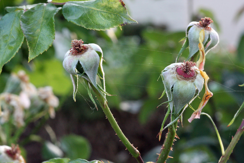 rose hips with spiderwebs