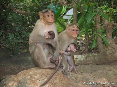 Indian Monkeys and Monkey Families