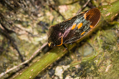INSECT - beetle-2155