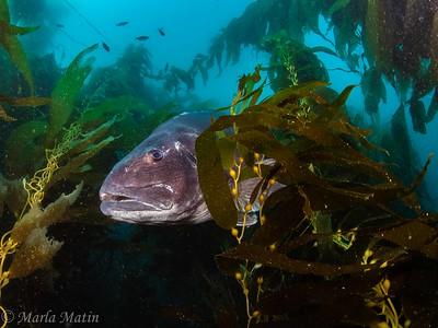 Catalina Giant Sea Bass