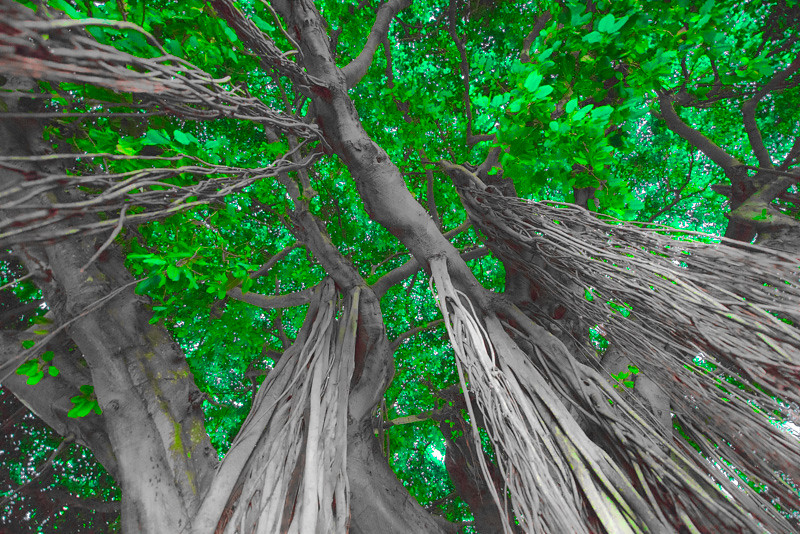 Banyan Tree 21