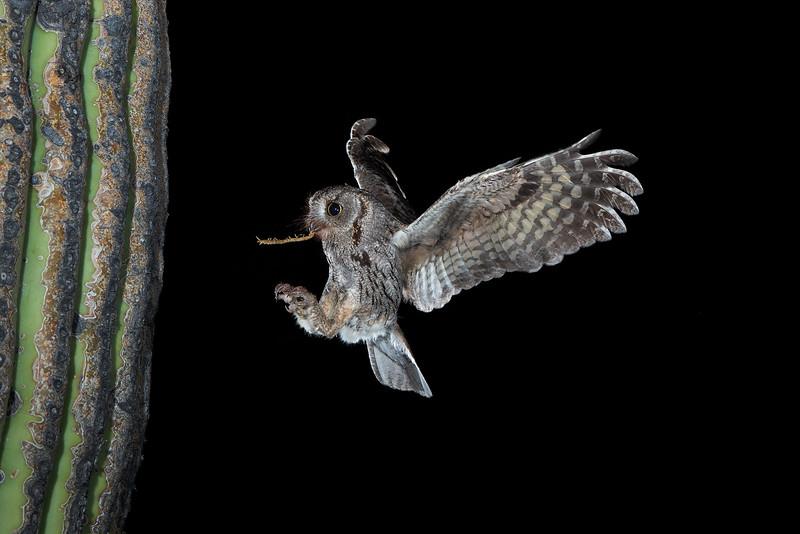 screech owl 77.JPG