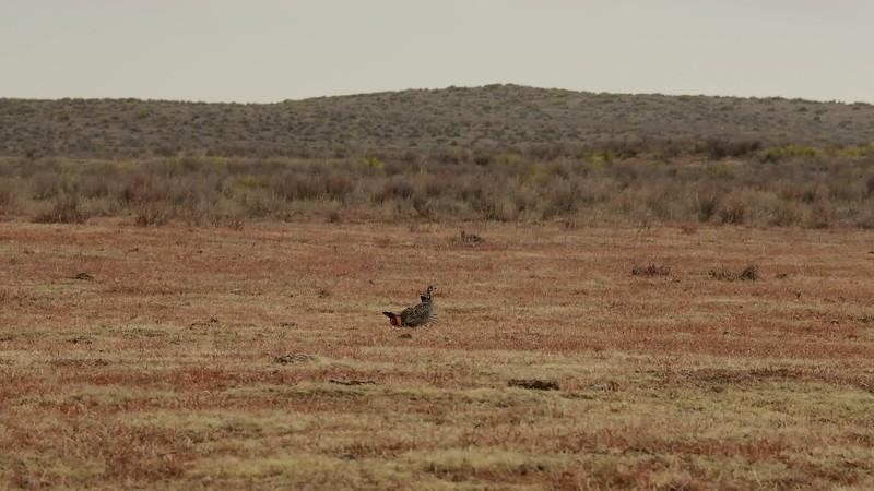 Greater Prairie Chicken Courtship