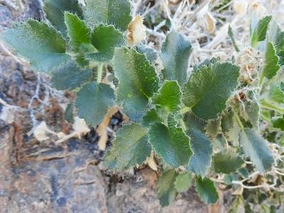 Desert Rocknettle (Eucnide urens)