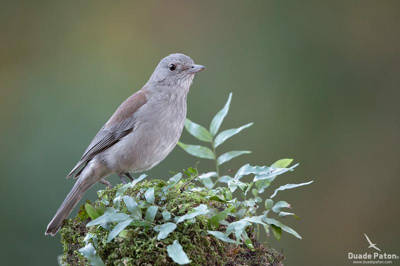 Grey Shrike-thrush