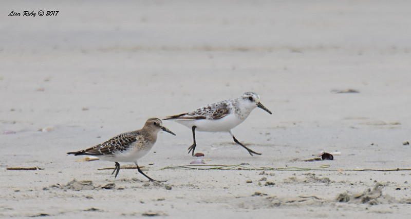 Baird's Sandpiper and Sanderling - 8/27/2017 - Imperial Beach near YMCA Surf Camp
