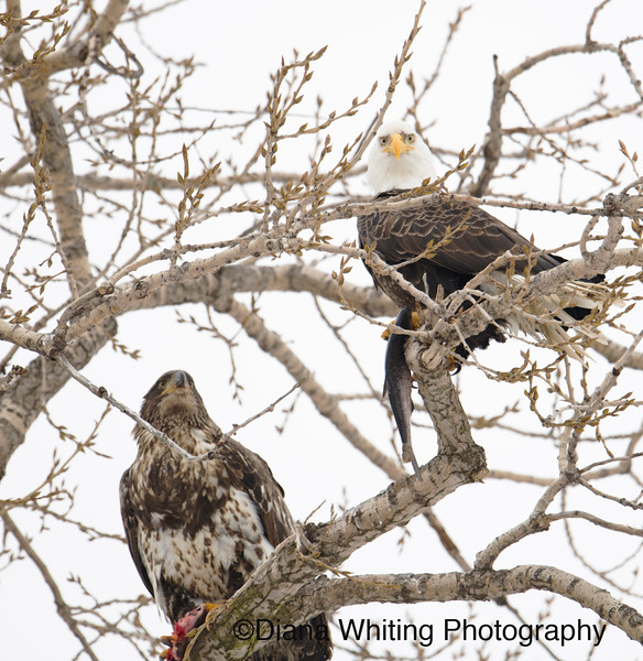 bald Eagles 23.jpg