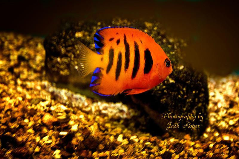 fish 2010 058  orange bl strips copy.jpg