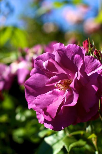 Portland International Rose Test Garden  2203.jpg