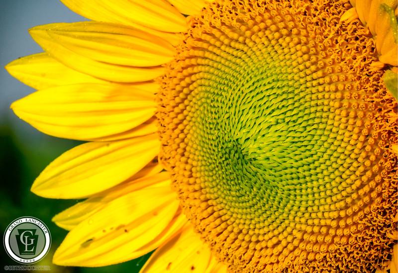 1325 - Sunflowers - Disc Close Up