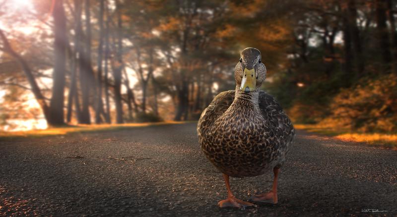 walking-duck.jpg