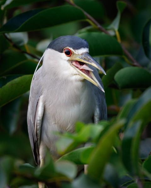 Black-crowned Night-Heron-9852.jpg