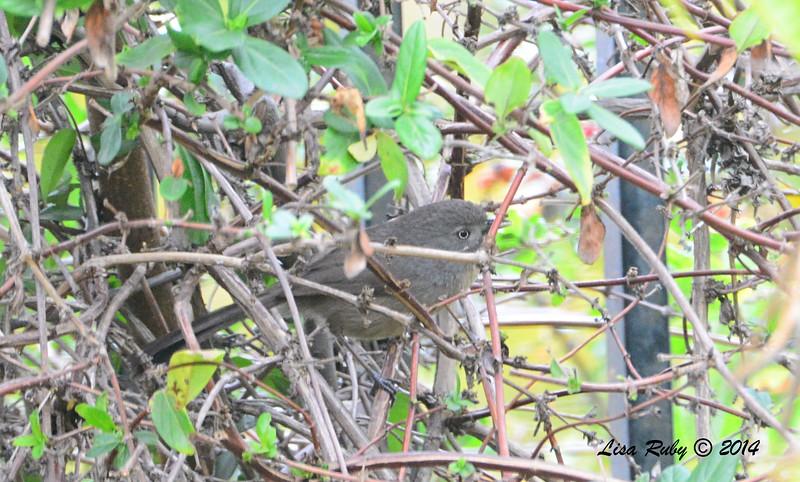 Wrentit - 12/31/-2014 - Backyard Sabre Springs