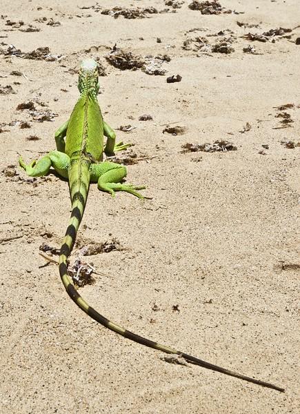 green dragon suns on beach in Puerto Rico.jpg