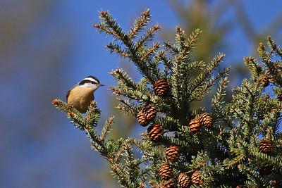 Minnesota Birding Trip - 2011