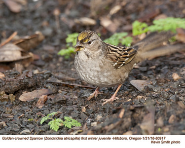 Golden-crowned Sparrow  J80917.jpg