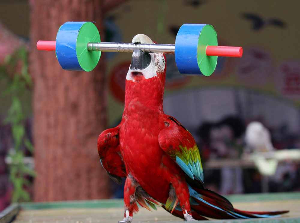 Description of . A parrot performs weight lifting at the Wuhan Bird Song Park on February 22, 2007 in Wuhan of Hubei Province, China. (Photo by China Photos/Getty Images)