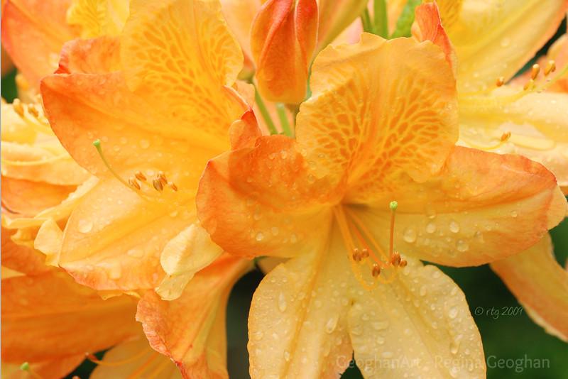 Flowering Shrubs_Azalea-Yellow_0672.jpg