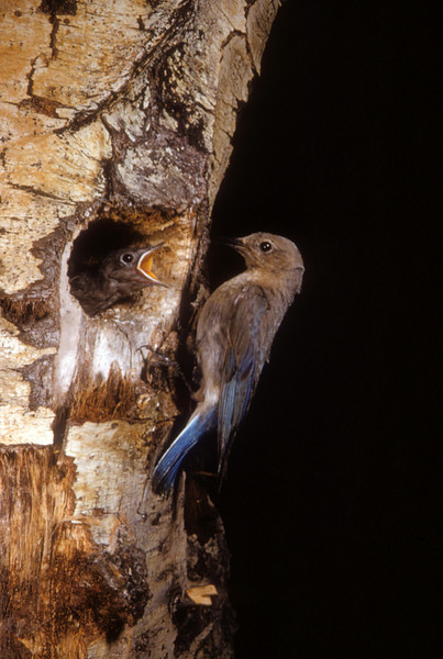 Mountain Bluebird (Sialia currucoides), Blacksmith Fork, Wasatch Mountains, Cache Co., Utah