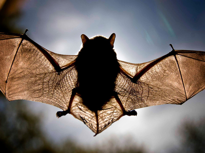 bat  wings.jpg