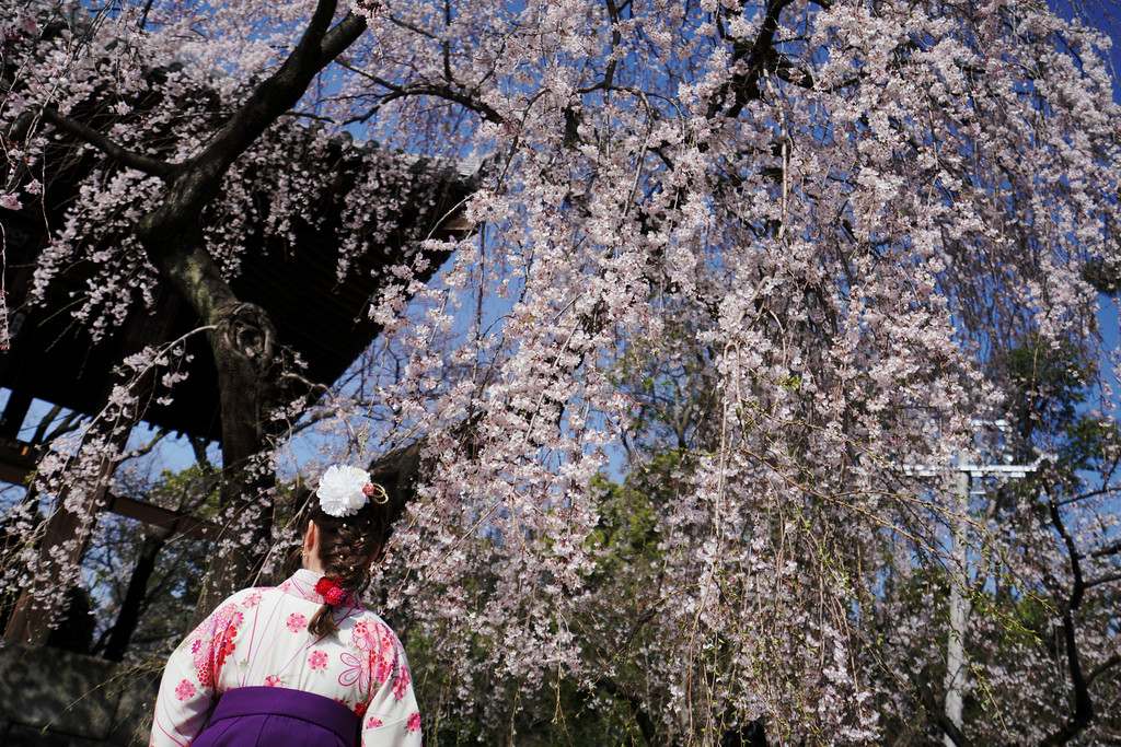 """. A woman wearing a Japanese traditional clothing called \""""hakama\"""" views the blooming the cherry blossoms overhead in Tokyo Thursday, March 22, 2018. The cherry blossom season marks the arrival of spring for the Japanese. (AP Photo/Eugene Hoshiko)"""